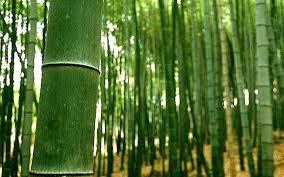 百幹の竹林ゆらぐ恵方道